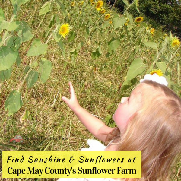Cape May County's Sunflower farm