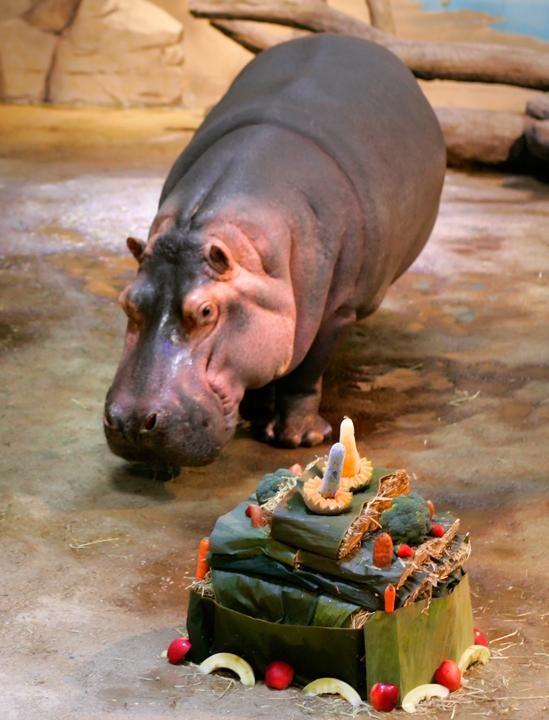 Hippos at Adventure Aquarium in Camden New Jersey