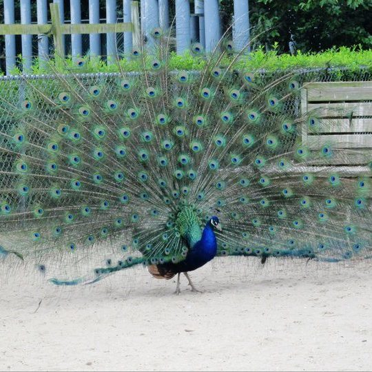 Popcorn Park Zoo, peacocks
