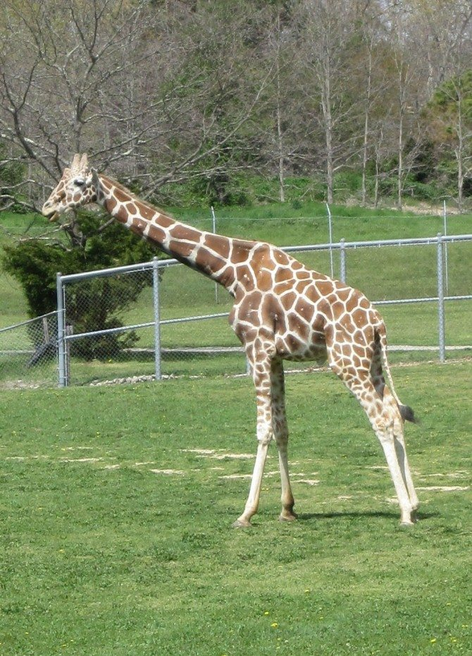 Cape May County zoo giraffe