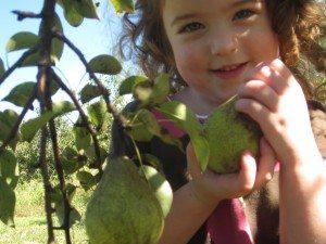Heritage Farms - Pears