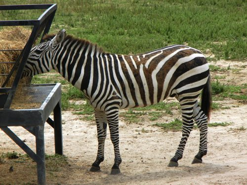 Big Zebra at cape may zoo photo credit Jersey family fun