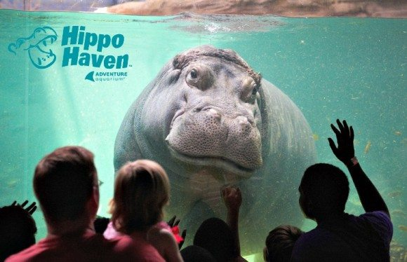 Hippo Haven, the newest renovated exhibit at the Adventure Aquarium.