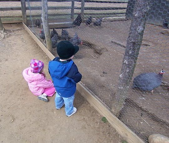 chickens at longstreet farm in Monmouth county