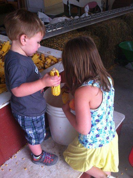 Pick corn at a New Jersey 4H Fair