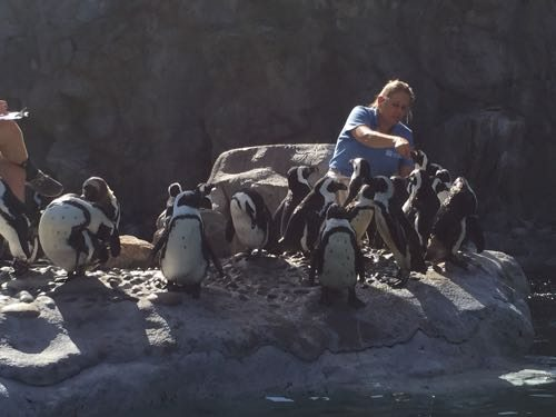 Penguin feeding time!