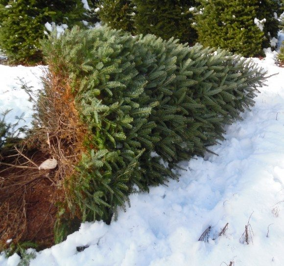 Cut down your own Christmas tree at New Jersey Christmas Tree Farms