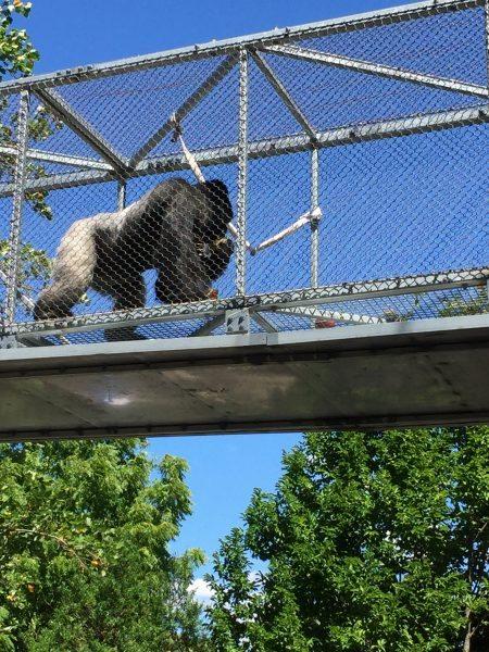 Philadelphia Zoo Honi Gorilla