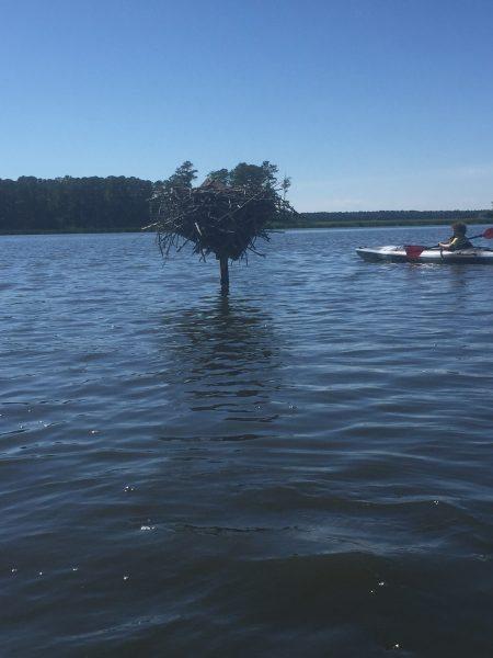 Blackwater Paddle & Pedal Adventures osprey nest