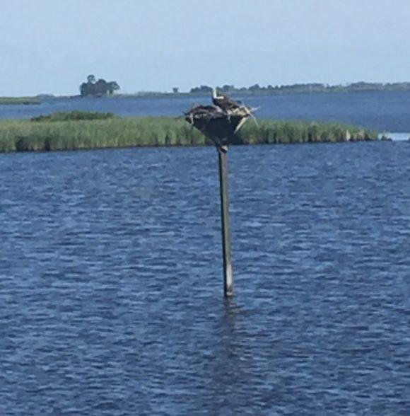 Blackwater National Wildlife Reserve Osprey