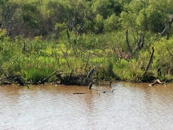 Blackwater National Wildlife Reserve Blue Heron