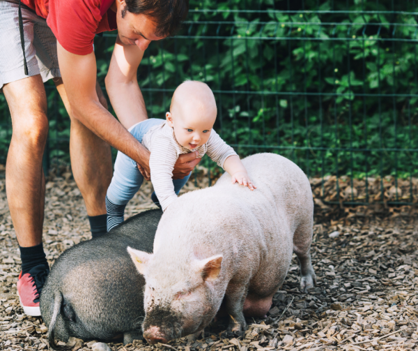 dad and baby with pigs