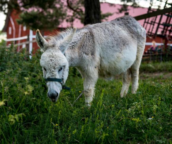 donkey eating grass near barn