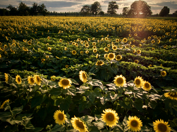 Sunflowers at Johnson Locust Farm in Jobstown New Jersey