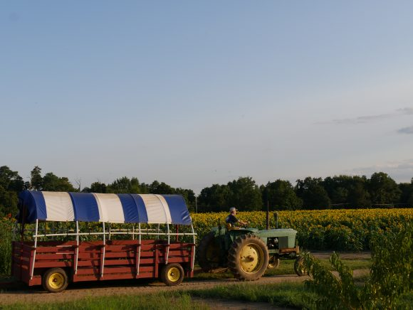 Johnson's Locust Hall Farm in Jobstown offers field and fields of sunflowers