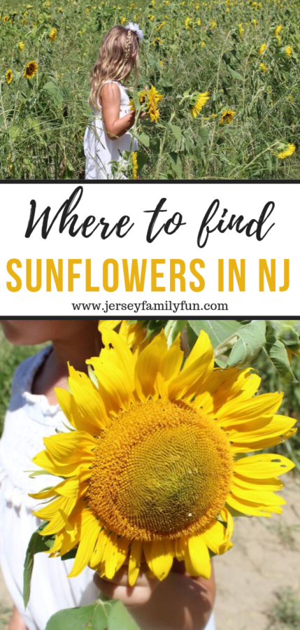 Where to find sunflowers in New Jersey pinterest image