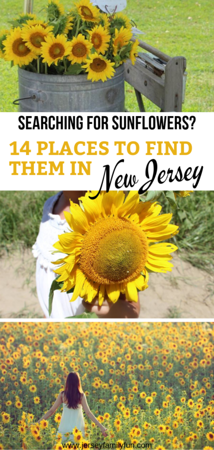 Searching for sunflowers in New Jersey pinterest image