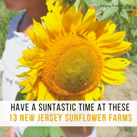 New Jersey Sunflower Farms