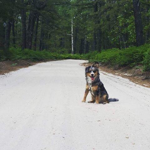 The Roberts family dog, Shadow, an Australian Shepherd mix rescue dog hikes the Batona Trail.