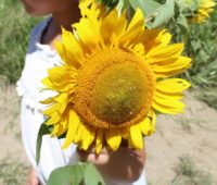 young girl holding a large sunflower from a sunflower farm in New Jersey