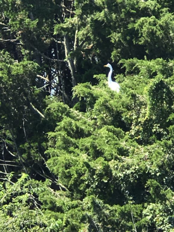 Egret in the trees across from the Ocean City Visitors Center on the Ocean City Bridge