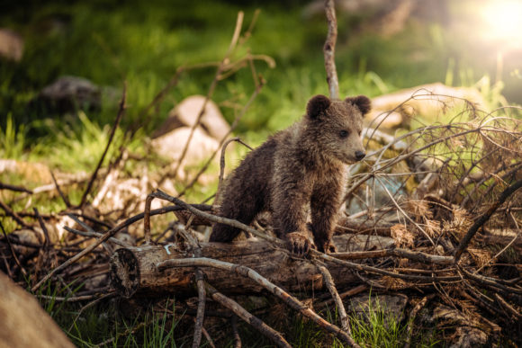 See baby grizzly bears at the Space Farms Drive Thru zoo.