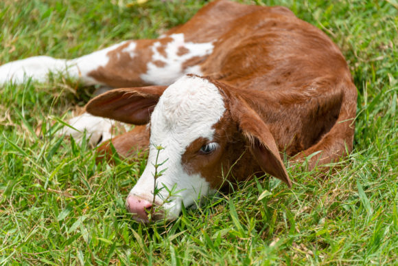 a brown and white cow sits in the grass