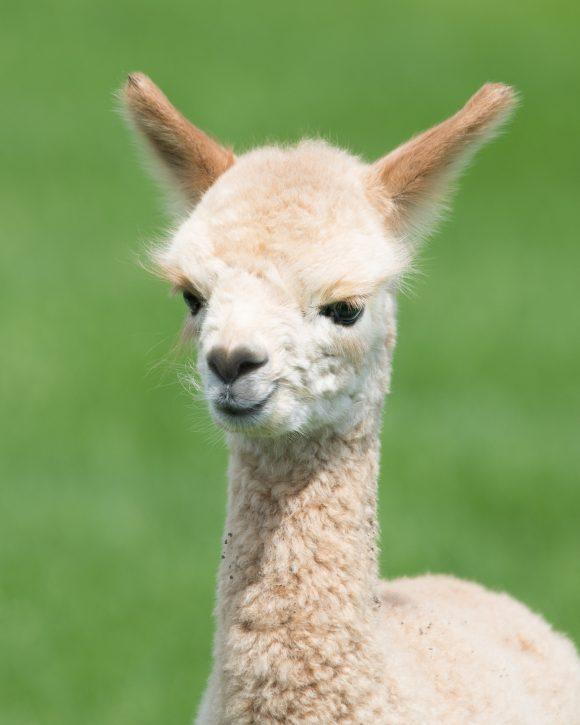 Brookhollow's Barnyard drive thru farm in New Jersey has llamas.