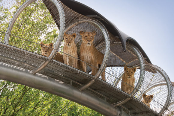 Lions in the treetop trails at Philadelphia Zoo