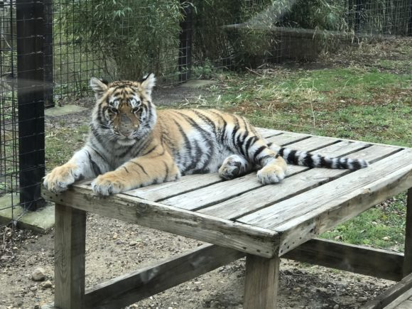 A tiger at Cohanzick Zoo
