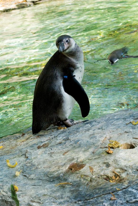 penguin at Philadelphia Zoo