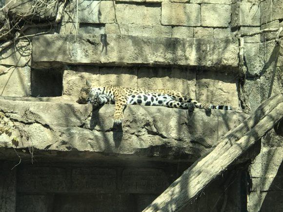 leopard at Philadelphia Zoo