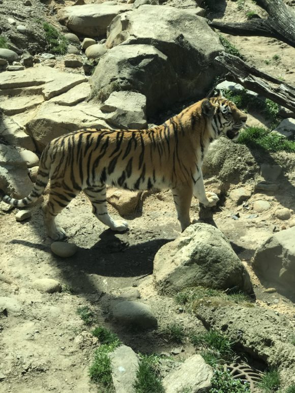 tiger at Philadelphia Zoo