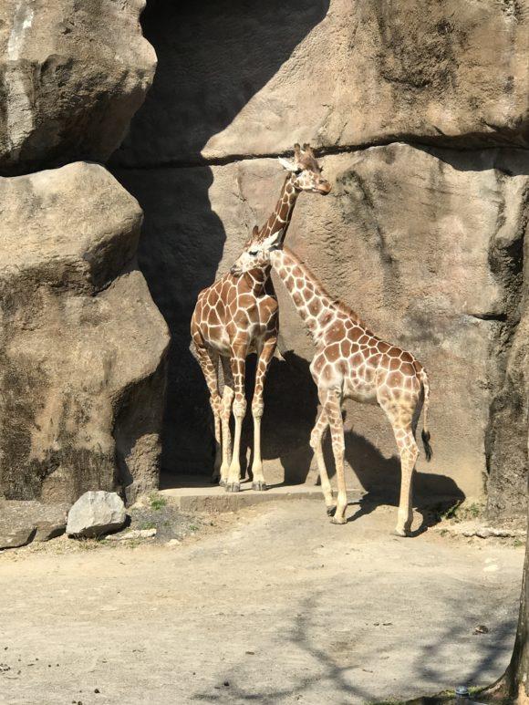 giraffes at the Philadelphia Zoo