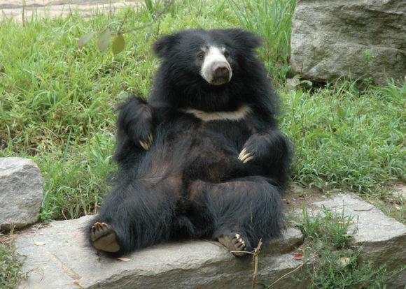 Philadelphia Zoo's sloth bear