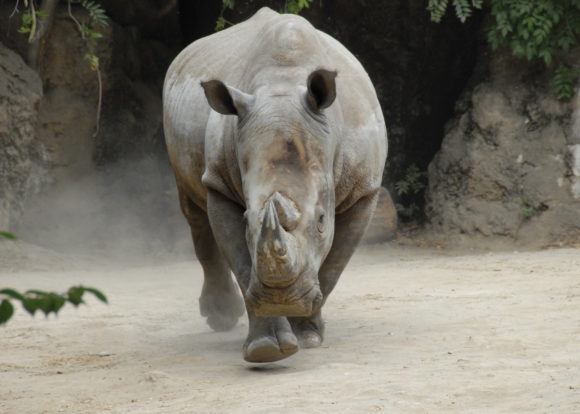 white rhinoceros at Philadelphia Zoo