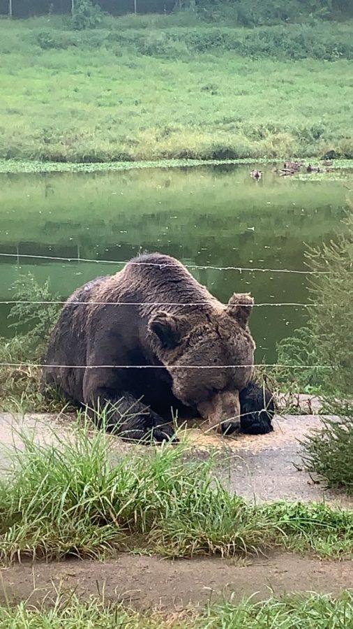 Six Flags Great Adventure Drive Thru Safari bear