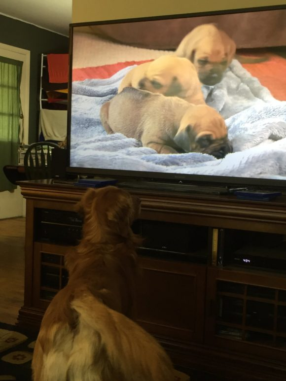 golden retriever dog watches puppy dogs on tv.