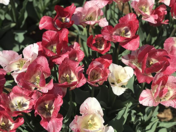 Beautiful red and white tulips at Holland Ridge Farms