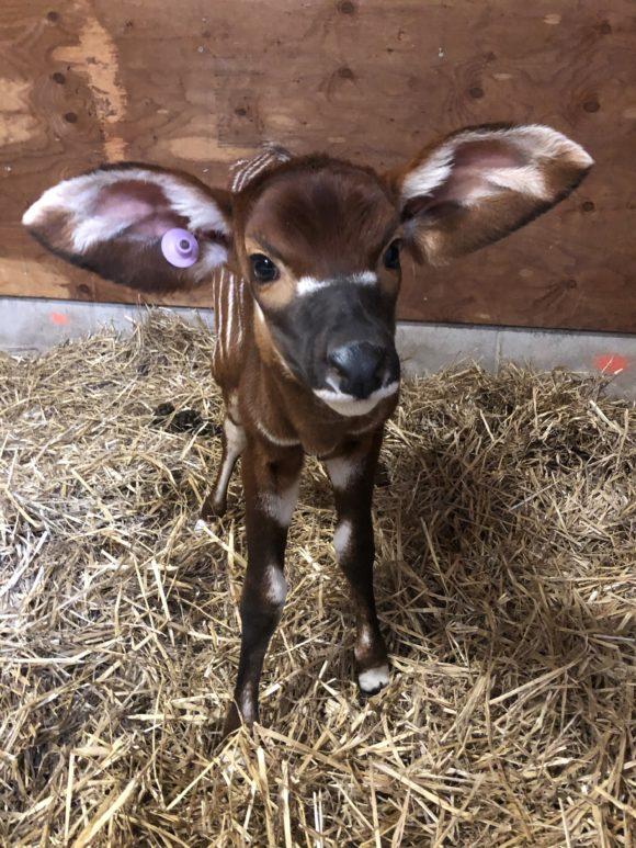 Bongo calf at Six Flags Great Adventure Safari