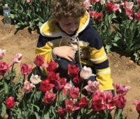 Boys-picks-tulips-at-NJ-tulip-festival