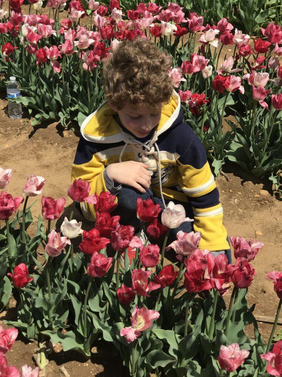 boy picks tulips at NJ tulip festival