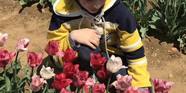 12 Tips for Visiting Tulip Festivals in New Jersey