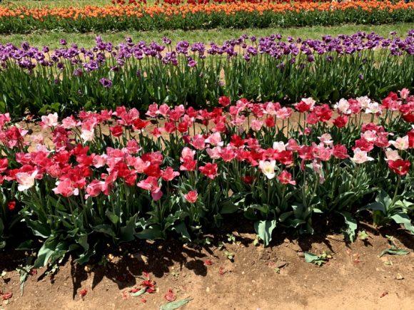 Field of tulips in New Jersey