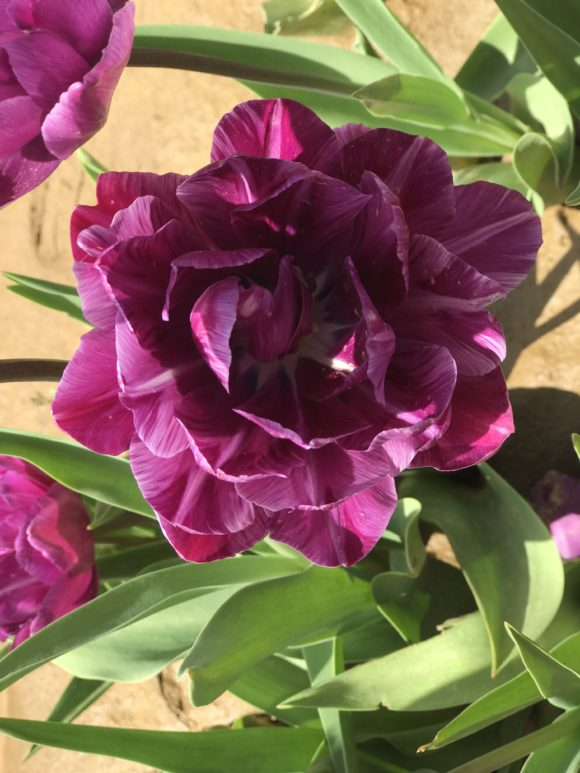 Gorgeous purple tulip from pick your own tulip farm in NJ