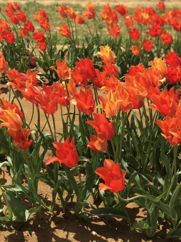 Pick your own orange tulips in New Jersey