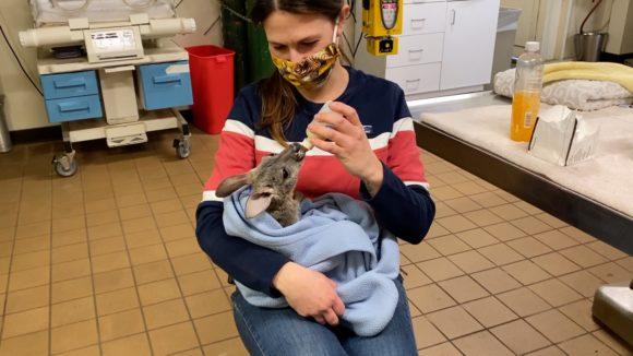 Pippa kangaroo and Vet Tech Lauren Reina from Six Flags Great Adventure Safari