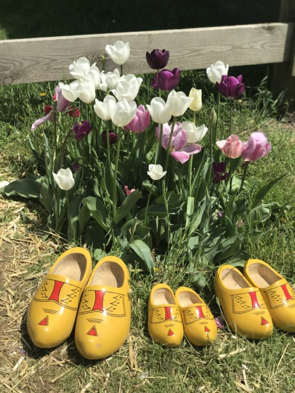 colorful tulips with 3 pairs of wooden shoes