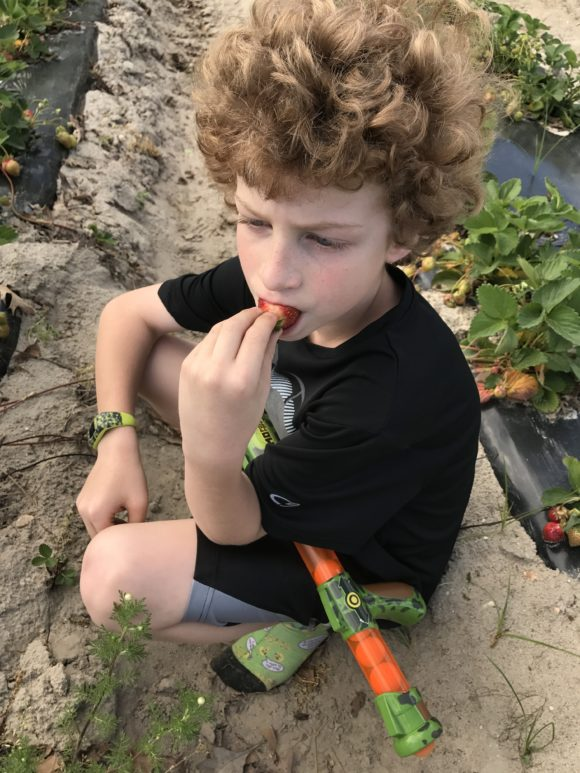 Sahls Father Son Farm eating a picked strawberry