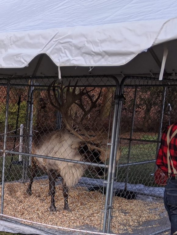A live reindeer is part of the festivities at the Victorian Holiday Celebration at Smithville Park.